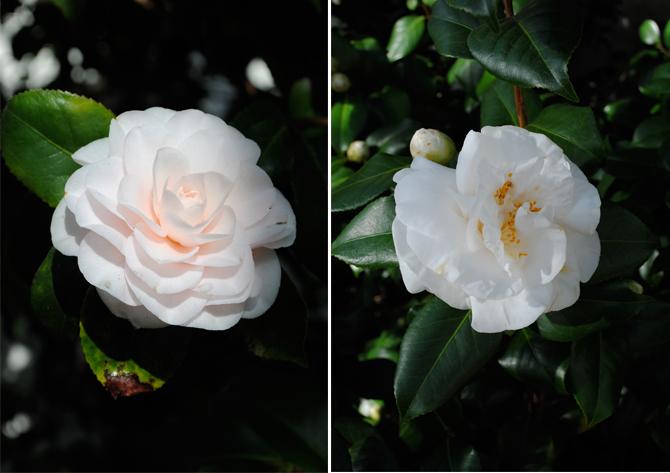 camellias ar chiswick house