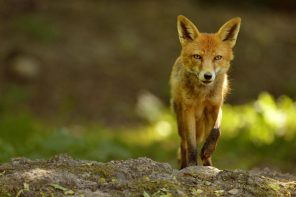 foxstock0810a