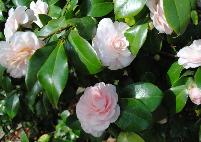 pepter blake's camelia at the chiswick house festival